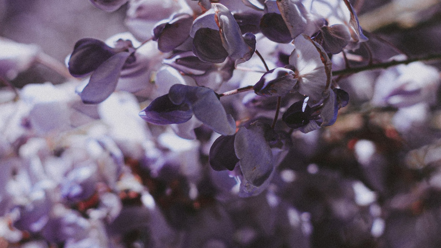 close up image of whisteria leaves